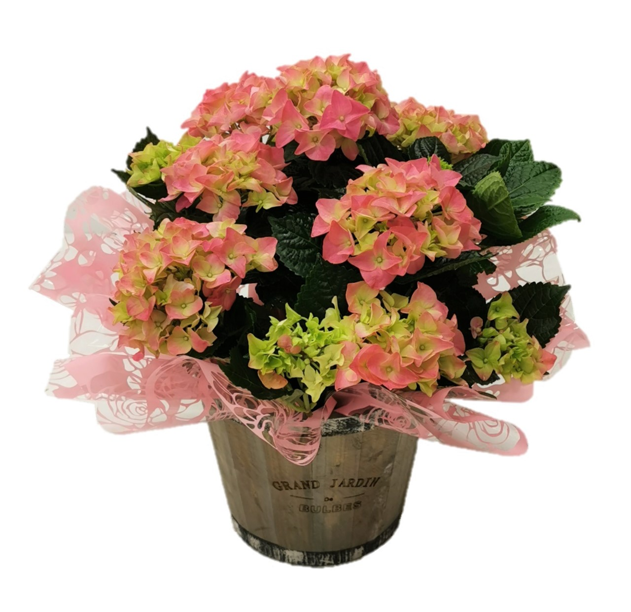 Hydrangea plant in barrel bucket
